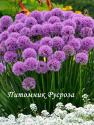 """Лук стареющий """"Millenium"""" (Allium senenscens)"""