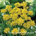 """Лук моли  """"Jeannine"""" (Allium moly)"""