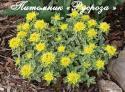 "Молочай многоцветный ""Variegata"" (Euphorbia polychroma)"