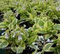 """Окопник крупноцветковый """"Goldsmith"""" (Symphytum grandiflorum)"""