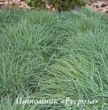Осока повислая (Carex flacca)
