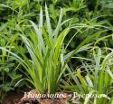 "Осока волосистая ""Kopenhagen Select"" (Carex pilosa)"
