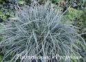 """Осока просяная """"Pamira"""" (Carex panicea)"""