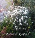 """Посконник морщинистый """"Chocolate"""" (Eupatorium rugosum)"""