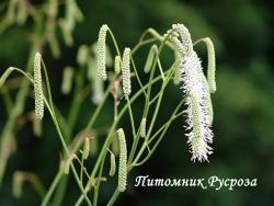 """Кровохлебка тонколистная """"Alba"""" (Sanguisorba tenuifolia)"""