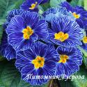 """Примула """"Blue Zebra"""" (Primula)"""
