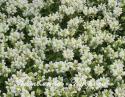"Прунелла крупноцветковая ""Alba"" (черноголовка) (Prunella Grandiflora)"