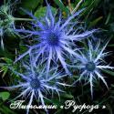 """Синеголовник """"Pen Blue"""" (Еryngium)"""