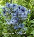 """Синеголовник альпийский """"Blue Star"""" (Еryngium alpinum)"""