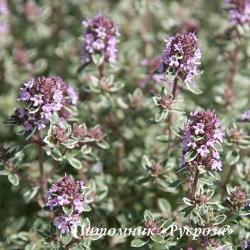 """Тимьян обыкновенный """"Silver Posie"""" (Thymus vulgaris)"""