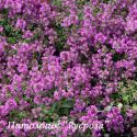 "Тимьян ранний ""Purple Beauty"" (Thymus praecox)"