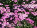 """Тысячелистник обыкновенный """"Pretty Belinda"""" (Achillea millefolium)"""