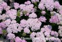 "Тысячелистник ""Wonderful Wampee"" (Achillea millefolium)"