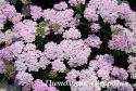 "Тысячелистник ""Wonderful Wampee"" (Achillea millefolium)"
