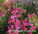 """Тысячелистник """"Cerise Queen"""" (Achillea millefolium)"""