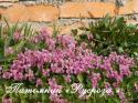 "Фиалка душистая ""Coeur d'Alsace"" (Viola odorata)"