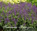 "Шалфей дубравный ""Sensation Violet"" (Salvia nemorosa)"