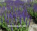 "Шалфей дубравный ""Ost Friesland"" (Salvia nemorosa)"
