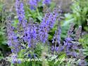 "Шалфей дубравный ""A Little Bit"" (Salvia nemorosa)"