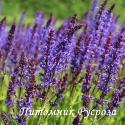 "Шалфей дубравный ""Mainacht"" (Salvia nemorosa)"
