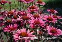 "Эхинацея пурпурная ""Fatal Attraction"" (Echinacea purpurea)"