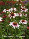 "Эхинацея пурпурная ""Funky White"" (Echinacea purpurea)"