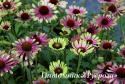 "Эхинацея ""Green Twister"" (Echinacea purpurea)"