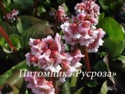 """Бадан """"Baby Doll"""" (Bergenia hybrida)"""