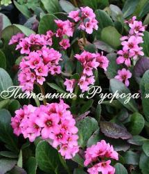 "Бадан ""Maikind"" (Bergenia hybrida)"