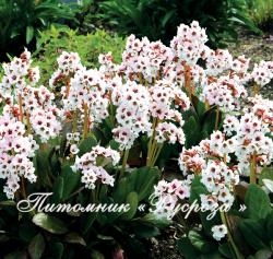 "Бадан ""Angel Kiss"" (Bergenia hybrida)"