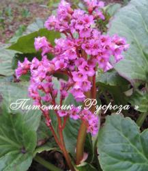 """Бадан """"Bressingham Ruby"""" (Bergenia hybrida)"""