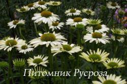 """Эхинацея пурпурная """"Alaska"""" (Echinacea purpurea)"""