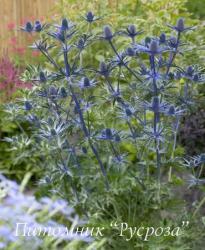 """Синеголовник альпийский """"Big Blue"""" (Еryngium alpinum)"""