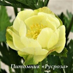 "Купальница ""New Moon"" (Trollius)"