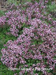 "Тимьян ползучий ""Magic Carpet"" (Thymus serpyllum)"