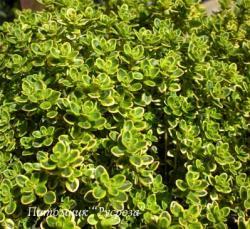 Тимьян лимоннопахнущий Aureus (Thymus citriodorus)
