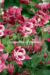 "Аквилегия обыкновенная ""Winky Red White"" (Aquilegia vulgaris)"