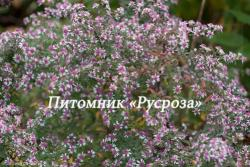 "Астра бокоцветная ""Horizontalis"" (Aster lateriflorus)"