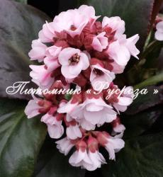 "Бадан ""Bach"" (Bergenia hybrida)"
