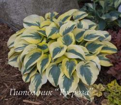 "Хоста ""Autumn Frost"" (Hosta)"
