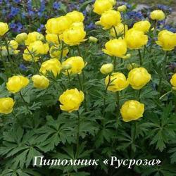 """Купальница """"Lemon Queen"""" (Trollius)"""