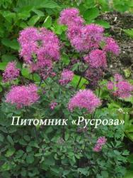 """Василистник водосборолистный """"Thundercloud"""" (Thalictrum aquilegiifolium)"""