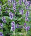 "Лофант ""After Eight"" (Agastache)"