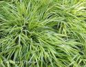 Осока Морроу Aureovariegata (Carex morrowii)