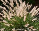 Пеннисетум восточный (Pennisetum villosum)