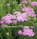 """Тысячелистник обыкновенный """"Lilac Beauty"""" (Achillea millefolium)"""