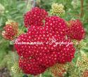 """Тысячелистник обыкновенный """"Red Velvet"""" (Achillea millefolium)"""