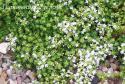 """Тимьян ранний """"Albiflorus"""" (Thymus praecox)"""