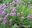 Шнитт-лук (Allium schoenoprasum)
