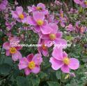 """Анемона японская """"Hadspen Abundance"""" (Anemone japonica)"""